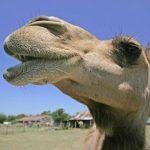 Heb jij zeventien kamelen?